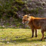 Il significato della volpe: simbologia tra leggende, sogno e tatuaggio