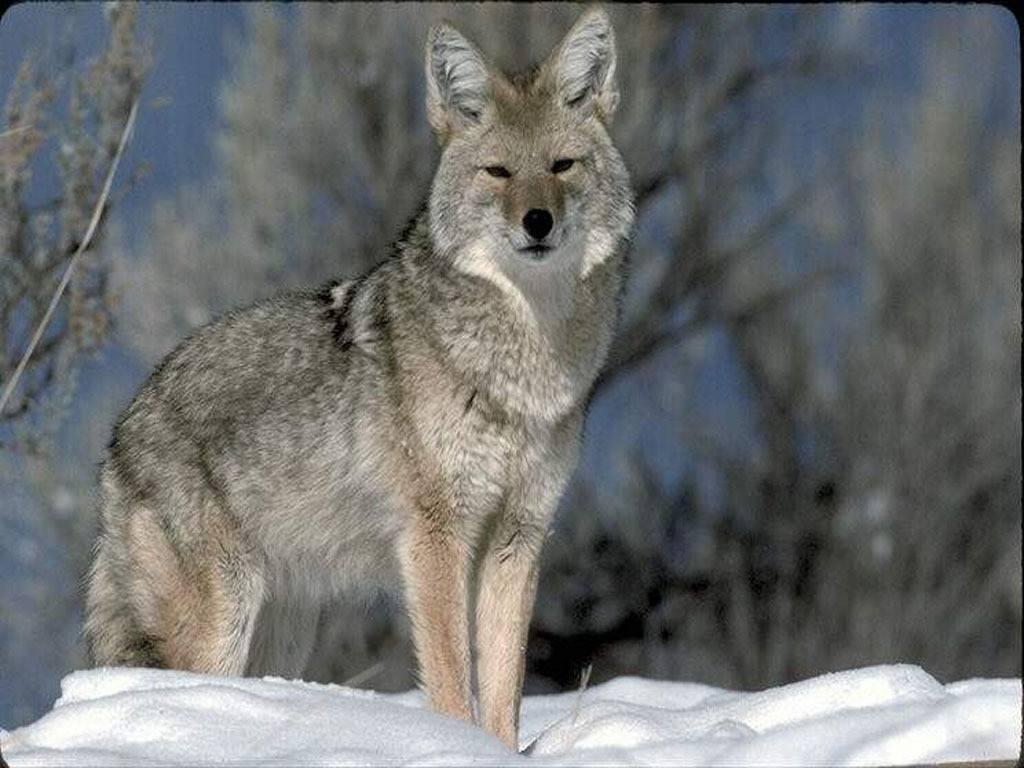 simbologia del lupo