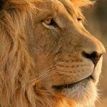 Il leone: simbologia e significato
