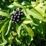 Eleuterococco: proprietà, usi ed effetti collaterali del ginseng siberiano