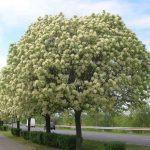 Frassino albero: proprietà, usi e controindicazioni