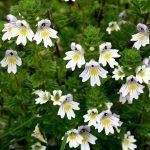Eufrasia pianta: proprietà, benefici, usi e controindicazioni