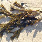 Alga Fucus: proprietà, usi (gocce e integratore) e controindicazioni