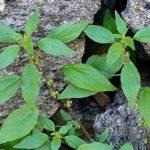 Parietaria pianta: proprietà, usi e controindicazioni