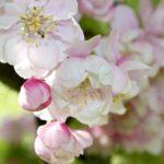 Crab Apple, il fiore di Bach che purifica corpo e mente