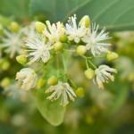 Tiglio pianta: proprietà, uso e controindicazioni