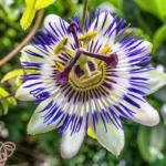 Passiflora pianta: proprietà e usi. Quando usare la tisana, le gocce o l'integratore?