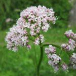 Valeriana officinalis pianta: proprietà, usi ed effetti collaterali