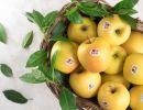 Golden Delicious Val Venosta. Dal Paradiso delle Mele, sua maestà Golden Delicious